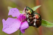 pic of coitus  - a chrysomelid beetle in rain forest Thailand  - JPG