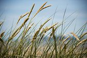 picture of dune grass  - Grasses blow in the wind on sand dunes  - JPG