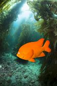 A bright, orange garibaldi fish swimming through a kelp bed at Catalina Island
