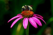 Beautiful Closeup of Purple Coneflower with Bumble Bee Drinking Nectar.