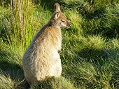 image of wallaby  - Bennett Wallaby - JPG