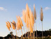 stock photo of pampas grass  - Pampas grass  - JPG