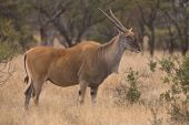 image of eland  - Lone Eland in open field in Dube nature reserve