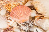 pic of scallop shell  - pile of  sea shells with scallop shell in center - JPG