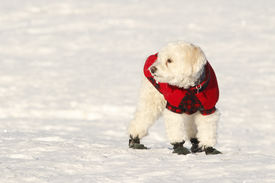 picture of cockapoo  - White Cockapoo Wearing Red Coat and Boots in Snow - JPG