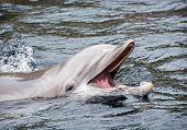 stock photo of common  - Bottlenose dolphins the genus Tursiops are the most common and well - JPG