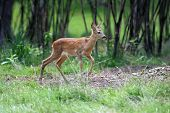 foto of roebuck  - Young roe deer standing in summer forest - JPG