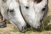 stock photo of horses eating  - three grey horses eating gras in the sunshine - JPG