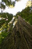 foto of redwood forest  - Looking straight up the trunk of a redwood tree - JPG