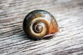 pic of snail-shell  - close up shell of apple snail on old wood floor