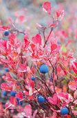 picture of bearberry  - Blueberries with red autumn leaves in raindrops - JPG
