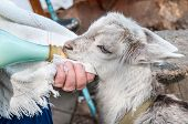 picture of baby goat  - Hand feeding a baby goat with a milk bottle - JPG