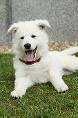 stock photo of swiss shepherd dog  - Beautiful puppy of White Swiss Shepherd Dog lying in the garden - JPG