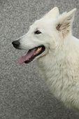 stock photo of swiss shepherd dog  - Potrait of amazing White Swiss Shepherd Dog - JPG