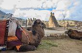 foto of camel  - view of Cappadocia Pasabag  - JPG
