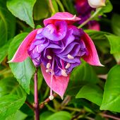 image of pompous  - beautiful vibrant pink red fuchsia flower on the nature green backgroud  - JPG