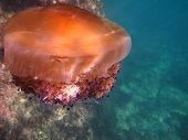 stock photo of gozo  - Mediterranean fried egg jellyfish Cotylorhiza tuberculata in Xlendi - JPG