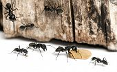 stock photo of carpenter  - Carpenter ant - JPG