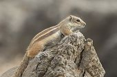 picture of ground nut  - Barbary ground squirrel  - JPG