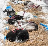 stock photo of sled-dog  - Sled Dogs Sleep at Checkpoint Between Legs  - JPG