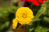 image of zinnias  - Single Yellow Zinnia Flower with green isolated background - JPG