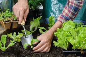 stock photo of humus  - Farmer planting young seedlings of lettuce salad in the vegetable garden - JPG