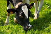 picture of cow head  - Close up of head of black and white cow while eating the green grass of a meadow - JPG