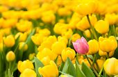 One Pink Tulip Standing Out From Many Yellow Ones. Individuality Concept poster