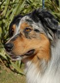 picture of cute dog  - portrait of purebred australian shepherd - JPG