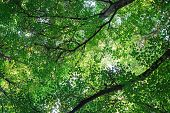 Lush Green Foliage Of Trees And Clear Sky In A Forest. Warm Spring Sun Shining Through The Canopy Of poster
