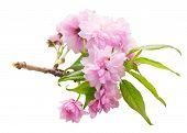 Pink Cherry Sacura Twig Blossom Isolated On White Background poster