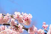 Pink Cherry Blossom(cherry Blossom, Japanese Flowering Cherry) On The Sakura Tree. Sakura Flowers Ar poster