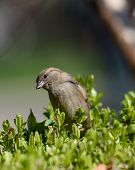 Beautiful Little Sparrow Bird In Natural Background. Generally, Sparrows Are Small, Plump, Brown-gre poster