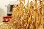 Harvesting Corn Crop Field. Combine Harvester Working On Plantation. Agricultural Machinery Gatherin poster