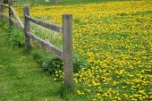 picture of split rail fence  - A rural split rail fence and a yard filled with yellow dandelions - JPG