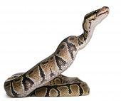 stock photo of pythons  - Python Royal python eating a mouse - JPG