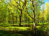 Spring Forest Landscape. Green Spring Forest Trees And Flooded Spring Forest Glade Under Soft Sunlig poster