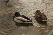 A Drake And A Duck In A Small Pond poster