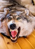 Stuffed Head Of Wolf On Wooden Wall. Muzzle The Wolf Close-up. Scarecrow Of A Wolf, Hunting Trophy poster