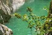 A Small Maple On The Rocky Shore Of A Mountain River With Turquoise Water. Mountain River With Clear poster