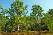 picture of bayou  - Cypress Swamp in the Louisiana Bayou near New Orleans - JPG