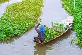 Female Farmer Paddle In The River To Collect Morning Glory For Sale At The Market. Morning Glory Is poster