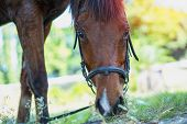 Close Up Side View Of Horse Eating Grass And Hay In Meadow poster