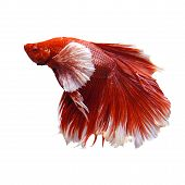 stock photo of fighter-fish  - scene of red and white thai fighting fish isolated white - JPG