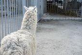 Lama Is Behind The Bars Of The Zoo.lama Is Behind The Bars Of The Zoo poster