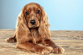 Best Friend Forever. English Cocker Spaniel Young Dog Is Posing. Cute Playful Brown Doggy Or Pet Is  poster