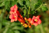 Bunch Of Trumpet Vine Or Campsis Radicans Or Trumpet Creeper Or Cow Itch Vine Or Hummingbird Vine Fl poster