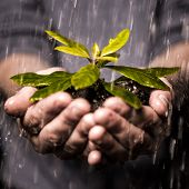 pic of horticulture  - Close up of hands holding seedling and soil growing in the rain - JPG