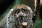 stock photo of titi monkey  - a very young titi monkey on a limb - JPG