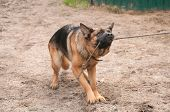 foto of alsatian  - alsatian dog playing and pulling the rope